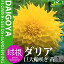 ガーデンダリア 巨大輪咲き 黄【球根】1球袋詰め