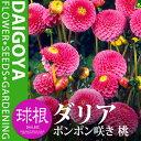 ガーデンダリア ポンポン咲き 桃【球根】1球袋詰め