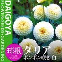 ガーデンダリア ポンポン咲き 白【球根】1球袋詰め