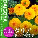 ガーデンダリア ポンポン咲き 黄【球根】1球袋詰め