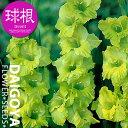 グラジオラス【球根】8球入り袋詰め 単色咲き黄緑