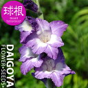 グラジオラス ノリ【球根】7球入り袋詰め 2色咲き紫/白