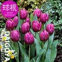 チューリップ 一重咲き パープルプリンス(単色紫/T)【球根】5球入り袋詰め