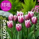 チューリップ 一重咲き シネダブルー(2色咲き紫に白/T)【球根】4球入り袋詰め