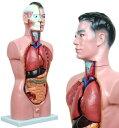 お腹の見える人体模型85cmGX-201パーツ取り外し可[JK-2994]