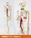 人骨模型 血管と心臓付ガイコツ85cm 人体模型[JK-3885]【HLS_DU】
