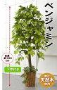 【送料無料】人工観葉植物 ベンジャミン   1.5m 大型 インテリア 造花 フェイク グリーン 部