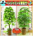 【送料無料】人工観葉植物 ベンジャミン & 観音竹...