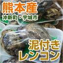 ■ 熊本産 泥付きレンコン 約300g ■ 【 野菜セット同梱で送料無料 九州 熊本 野菜 れんこん 蓮根 根菜 泥 里芋 煮物 盆 正月 】