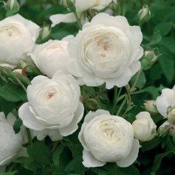 クレア・オースチン つるバラ 鉢苗