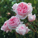 ザ ウェッジウッド ローズ つるバラ鉢苗 - The Wedgwood Rose Climbing Potted (Ausjosiah)