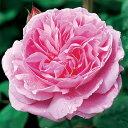 メアリー・ローズ 裸苗 - Mary Rose (Ausma...