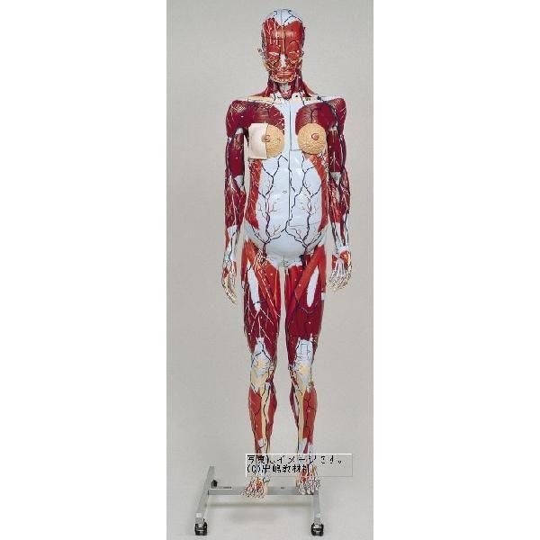 人体解剖模型