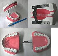 大型歯磨き指導用顎模型