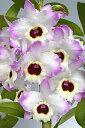 デンドロビューム苗Den.Spring Smile'Lovely Paradise'スプリングスマイル'ラブリーパラダイス'