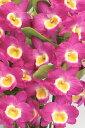 デンドロビューム苗Den.Pink Kiss'Comet Qeen'BM/JOGAピンクキッス'コメットクイーン'