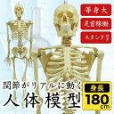 人体模型 人体骨格模型 等身大 180cm リアル 手・足・頭・顎・肩・ひじ・手首・足首稼働 お部屋のインテリア、オブジェや人物の絵画や彫刻の基本 ハロウィン、イベント、肝試し[代引不可]