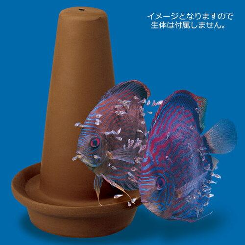 スドー ディスカス 産卵筒 EX 陶器 素焼き...の紹介画像3
