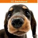 【6】2017年 国内版 THE DOG 壁掛け カレンダー ダックスフンド シール付き(2016年9月から17年12月) 犬種別 ザ・ドッグ ザドッグ ミニチュアダックス