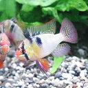 熱帯魚 観賞魚 ミクロゲオフォーガス ラミレジィ ドイツ XL 1Pr