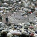 熱帯魚 観賞魚 コリドラス アトロペルソナータス ワイルド 1匹