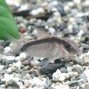 熱帯魚 観賞魚 コリドラス アルクアトゥス ワイルド 1匹