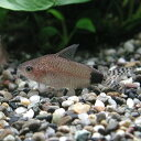 熱帯魚 観賞魚 コリドラス グァポレ 1匹