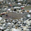熱帯魚 観賞魚 コリドラス レティキュラトゥス ワイルド 2匹セット