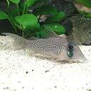熱帯魚 観賞魚 コリドラス ロングノーズシクリ WILD