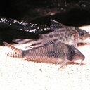 熱帯魚 観賞魚 コリドラス シムラトゥス