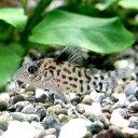 熱帯魚 観賞魚 コリドラス アムビアクス ワイルド 1匹