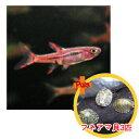 【お買い得セット】 ボララス ブリジッタエ5匹とフネアマ貝3匹のセット