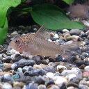 熱帯魚 観賞魚 コリドラス ポリスティクタス 1匹