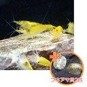 【お買い得セット】 イエローチェリーシュリンプ4匹とフネアマ貝2匹のセット