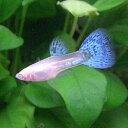 熱帯魚 観賞魚 国産グッピー RREA ブルーグラス グッピー1Pr【国産・グッピー】