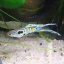 熱帯魚 観賞魚 国産グッピー ウィーンエメラルド 1Pr
