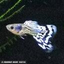熱帯魚 観賞魚 国産グッピー アイボリーギャラクシーモザイク 1Pr【国産・グッピー】