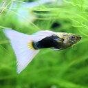 熱帯魚 観賞魚 国産 グッピー ドイツイエロータキシード 1Pr