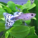 熱帯魚 観賞魚 国産グッピー アイボリーモザイク グッピー 1Pr