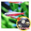 【お買い得セット】 カージナルテトラ6匹とフネアマ貝3匹のセット