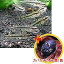 【お買い得セット】 アジアクリスタルキャット2匹とカバクチカノコ貝1匹のセット