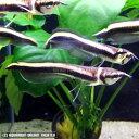 熱帯魚 観賞魚 ブラックアロワナ ワイルド (ベビーサイズ) 1匹