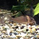 熱帯魚 観賞魚 コリドラス デルファックス 1匹