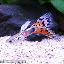 熱帯魚 観賞魚 国産グッピー オールドファッションモザイク グッピー 3Prセット【国産・グッピー】