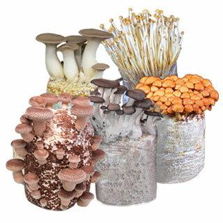 버섯 재배 키트 자유 연구와 어린이 식 생활 교육!