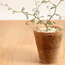 人気の観葉植物ソフォラプロストラータ・リトルベイビーinモスポットミニだから、飾りやすい!