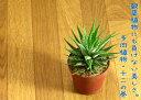RoomClip商品情報 - 育てやすい多肉植物 ジュウニノマキ2.5号鉢サイズ