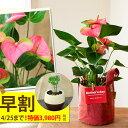 【送料無料 母の日ギフト】名人・小松さんのアンスリュームを、RootPouch社の布鉢で、