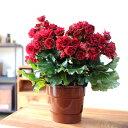 【送料無料】※同梱不可商品エラチオールベコニアの高級品種。芸術的な花「アールデコ」エラチオールベゴニアの中でも、特に長持ちするお花です!