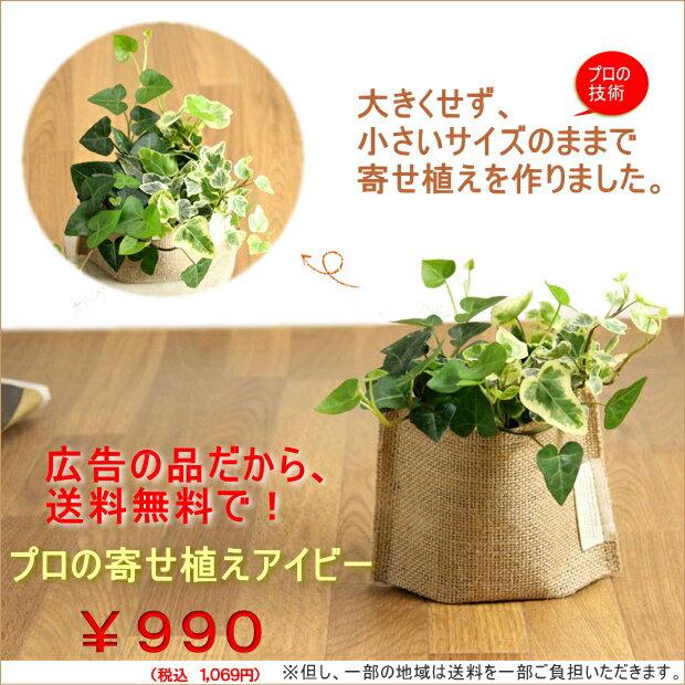 【広告の品につき、送料無料】アイビーの寄せ植えを風合い良い、麻袋に入れて※葉色はお任せ【観葉植物 ヘデラへリックス】